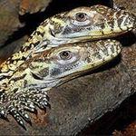 Phi thường - kỳ quặc - Cận cảnh loài rồng ăn thịt hung dữ