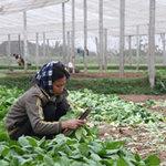 Thị trường - Tiêu dùng - Tiêu thụ rau an toàn: Vướng đủ thứ