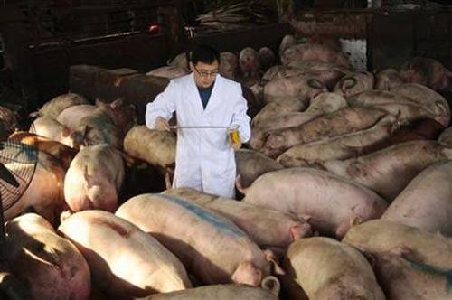 Trại nuôi lợn bằng thuốc kháng sinh - 1