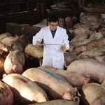 Thị trường - Tiêu dùng - Trại nuôi lợn bằng thuốc kháng sinh