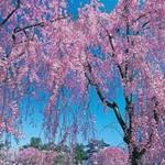 Du lịch - Ngắm cây anh đào đầu tiên nở hoa tại Tokyo