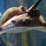 Phi thường - kỳ quặc - Thú nuôi cá đuối gai độc nghìn USD của dân chơi Việt
