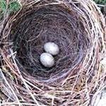 """Sức khỏe đời sống - """"Tinh binh"""" khỏe nhờ trứng chim sẻ"""