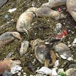 Tin tức trong ngày - TQ: Vớt 1.000 xác vịt trên sông