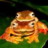 """Lạ kỳ ếch đổi màu, đỏ rực khi """"làm tình""""... ở VN"""