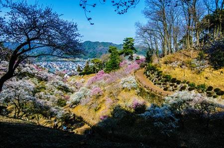 Ngắm vườn hoa mơ tuyệt đẹp ở thành phố Ome - 1