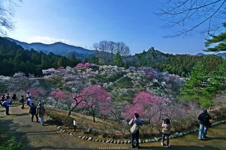 Ngắm vườn hoa mơ tuyệt đẹp ở thành phố Ome - 2