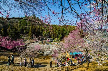 Ngắm vườn hoa mơ tuyệt đẹp ở thành phố Ome - 3