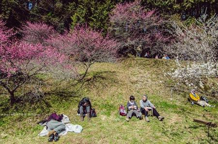 Ngắm vườn hoa mơ tuyệt đẹp ở thành phố Ome - 4