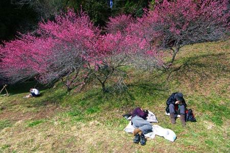 Ngắm vườn hoa mơ tuyệt đẹp ở thành phố Ome - 5