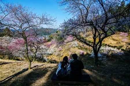 Ngắm vườn hoa mơ tuyệt đẹp ở thành phố Ome - 6