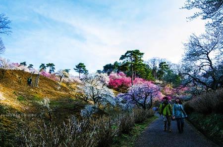 Ngắm vườn hoa mơ tuyệt đẹp ở thành phố Ome - 7