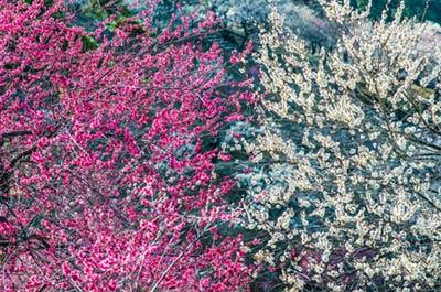 Ngắm vườn hoa mơ tuyệt đẹp ở thành phố Ome - 8