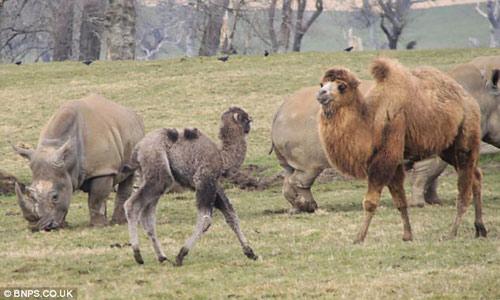 Xem lạc đà đuổi tê giác chạy... té khói - 1