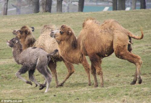 Xem lạc đà đuổi tê giác chạy... té khói - 2
