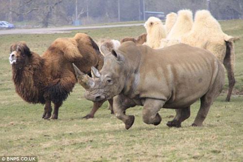 Xem lạc đà đuổi tê giác chạy... té khói - 3