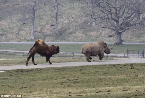 Xem lạc đà đuổi tê giác chạy... té khói - 4