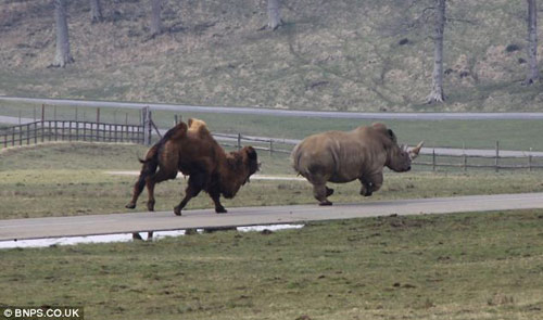 Xem lạc đà đuổi tê giác chạy... té khói - 5
