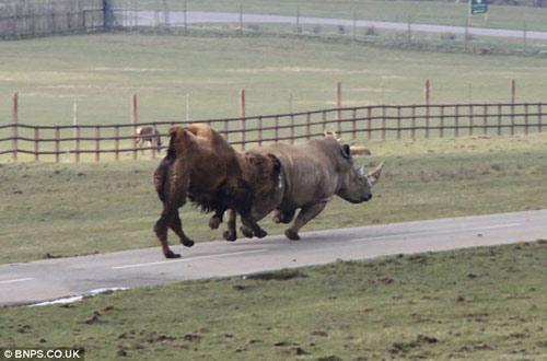 Xem lạc đà đuổi tê giác chạy... té khói - 6