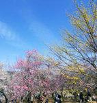 Du lịch - Ngắm vườn hoa mơ tuyệt đẹp ở thành phố Ome