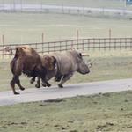 Tin tức trong ngày - Xem lạc đà đuổi tê giác chạy... té khói