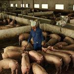 Thị trường - Tiêu dùng - Người chăn nuôi chờ được dãn nợ
