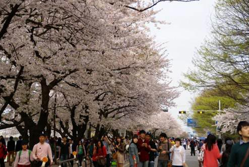 Cẩm nang du lịch Seoul vào mùa hoa anh đào - 2
