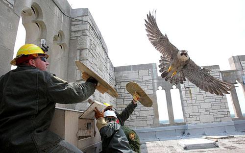 Ảnh đẹp: Chim ưng tấn công công nhân xây dựng - 11