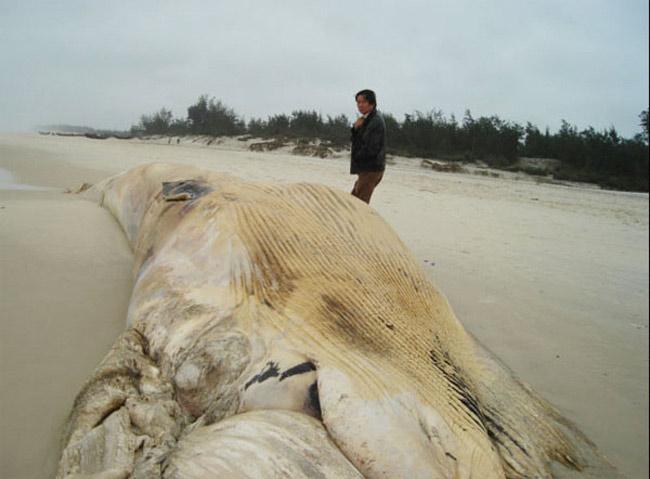 Chiều 20/1/2007, người dân thôn Nam Tiến (xã Ngư Thuỷ Nam, huyện Lệ Thuỷ, Quảng Bình) đã phát hiện một xác cá voi dài độ 15m, ước nặng trên 10 tấn trôi dạt vào bờ trong trình trạng mất hết phần đầu và phần đuôi, trên thân còn lưu lại vết hằn của dây cáp buộc và một đoạn dây thừng. Có thể cá voi này bị con người săn bắt. Các ngành chức năng đã chôn cá để bảo đảm vệ sinh môi trường.