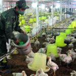 Thị trường - Tiêu dùng - Lụn bại vì chăn nuôi