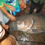 """Phi thường - kỳ quặc - Vĩnh Long: Bắt được cá hô """"khủng"""" gần 120kg"""