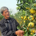 Thị trường - Tiêu dùng - Thăm vườn cây 7 loại quả của lão nông Hà Nội
