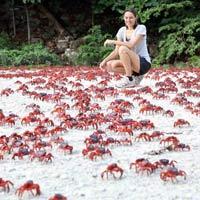 Ảnh đẹp: Hàng triệu cua đỏ di cư từ rừng ra biển