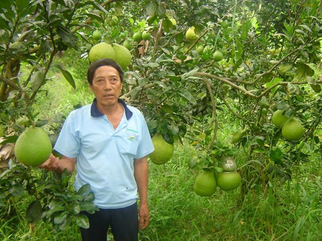 Theo chia sẻ của những người nông dân ở xã Phú Tân, Châu Thành, Hậu Giang, muốn làm bưởi hồ lô, khâu chọn giống là quan trọng nhất. Bưởi phải là loại Năm Roi không hạt.