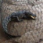 Tin tức trong ngày - TP.HCM: Đi cắt cỏ, bắt được cá sấu dài 1m