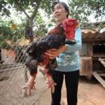 Thị trường - Tiêu dùng - Cận cảnh gà Đông Tảo có giá 17 triệu đồng