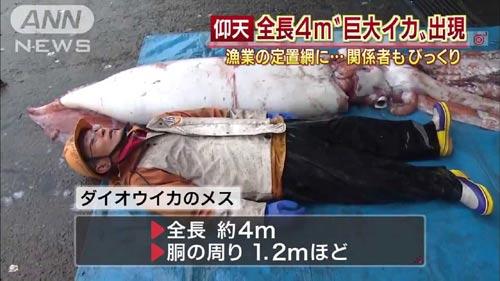 Nhật Bản: Bắt được mực khổng lồ dài 4 mét - 2
