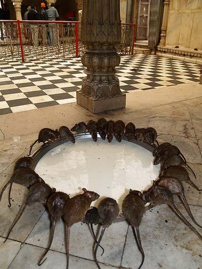 Hai ngôi đền rắn độc và chuột rúc - 9