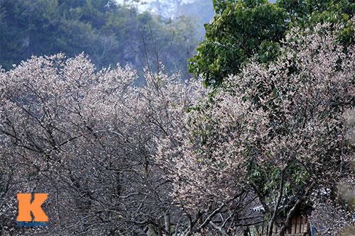 Đầu xuân lên Mộc Châu ngắm hoa mận nở
