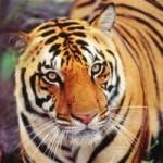 Tin tức trong ngày - Ấn Độ: Hổ đói giết chết 7 người