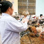Thị trường - Tiêu dùng - Lo ngại gà thải loại Trung Quốc tràn về Thủ đô