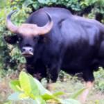Tin tức trong ngày - Ly kỳ chuyện bò tót ở Việt Nam