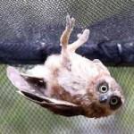 Tin tức trong ngày - Ảnh đẹp: Chim cú vặn người tạo dáng