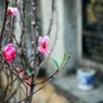 Tin tức trong ngày - Vườn đào nghĩa địa độc nhất Hà Nội