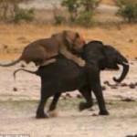 Tin tức trong ngày - Kinh hoàng sư tử đói truy sát voi con