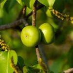 Phi thường - kỳ quặc - Sự thật loài cây độc nhất Trái đất