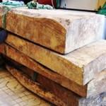 Tin tức trong ngày - Bỏ việc, lặn suối tìm... gỗ sưa tiền tỷ