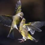 Tin tức Sony - Ảnh đẹp: Chim sẻ không chiến tranh mồi