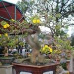 Thị trường - Tiêu dùng - Độc sầu mai bonsai Bình Định