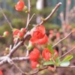 Tin tức trong ngày - Mai đỏ Trung Quốc giá rẻ lấn át hoa mai nội